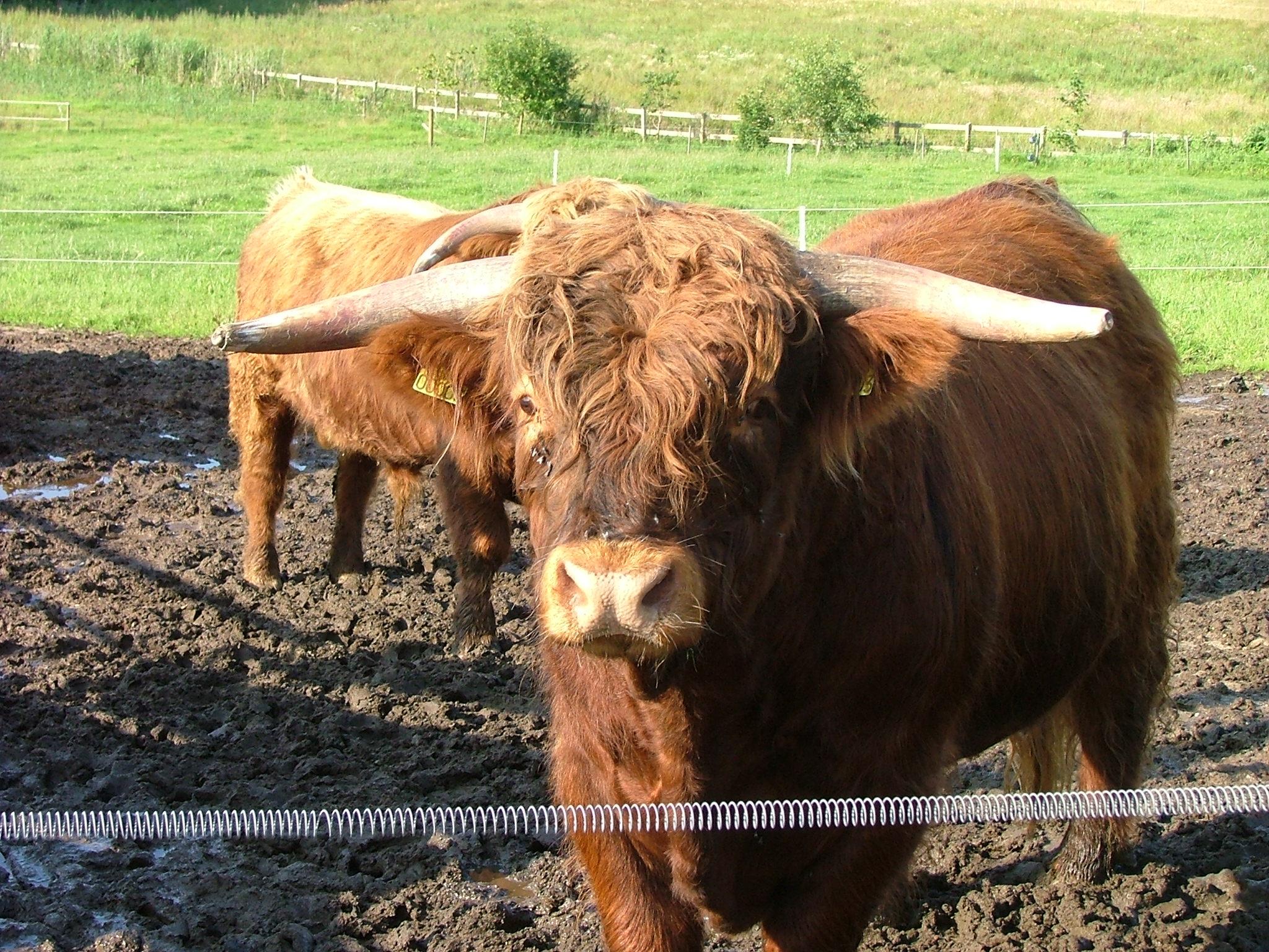 hvor mange maver har en ko